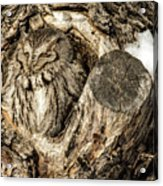 Screech Owl In Cavity Nest Acrylic Print