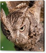 Screech Owl In Flight Acrylic Print