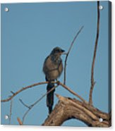 Scrub Jay Private Eye Acrylic Print