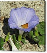 Scrub Morning Glory Acrylic Print