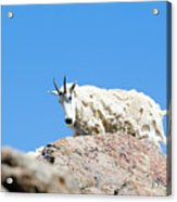 Scruffy Mountain Goat On The Mount Massive Summit Acrylic Print