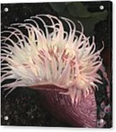 Sea Anemone Acrylic Print by Charles Parks