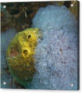 Sea Anemone On Pedernales Wreck In Aruba Acrylic Print