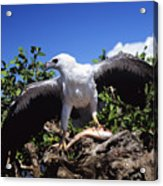 Sea Eagle Acrylic Print