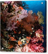 Sea Fans And Soft Coral, Fiji Acrylic Print