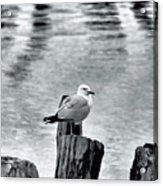 Sea Gull Black And White Acrylic Print