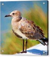 Sea Gull Of Boca Grande Acrylic Print