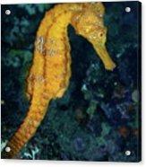 Sea Horse Underwater View Acrylic Print