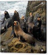 Sea Lion Chorus Acrylic Print