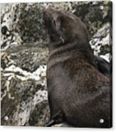 Sea Lion Close-up Acrylic Print