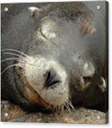 Sea Lion In San Francisco Acrylic Print