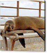sea lion on a bench in Puerto Ayora, Santa Cruz Island, Galapagos Acrylic Print