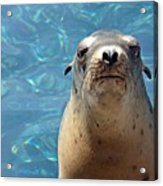 Sea Lion Or Seal Acrylic Print