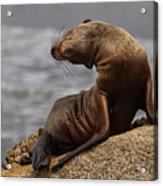 Sea Lion Pup Acrylic Print