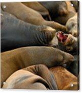 Sea Lions At Pier 39 San Francisco Acrylic Print