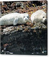 Sea Lions At Sea Lion Cove State Marine Conservation Area Acrylic Print