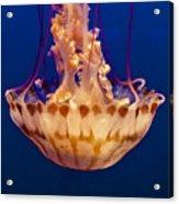 Sea Nettle Jellyfish Acrylic Print