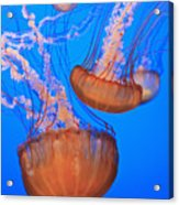 Sea Nettles Chrysaora Fuscescens In Acrylic Print by Stuart Westmorland