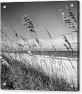 Sea Oats In Black And White Acrylic Print