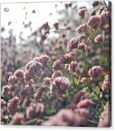 Sea Of Pink Acrylic Print