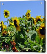 Sea Of Sunshine Acrylic Print