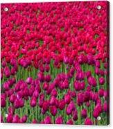 Sea Of Tulips Acrylic Print