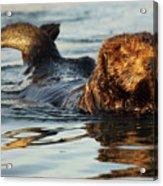 Sea Otter A Bit Embarrassed Acrylic Print