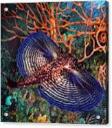 Sea Robin The Flying Gurnard Acrylic Print
