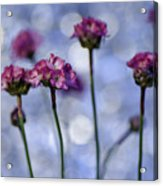 Sea Thrift Blossoms Acrylic Print