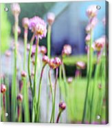 Sea Thrift Acrylic Print