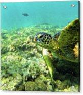 Sea Turtle #2 Acrylic Print