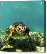 Sea Turtle #3 Acrylic Print