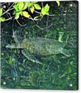 Sea Turtle In Galapagos Lagoon Acrylic Print