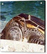 Sea Turtle Resting Acrylic Print