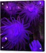 Sea Urchin 8 Acrylic Print