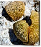 Sea Urchin Puzzle Pieces Acrylic Print