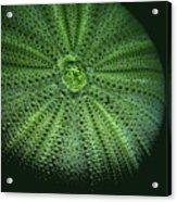 Sea Urchin  Acrylic Print