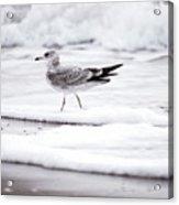 Seabird  Acrylic Print