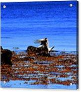 Seagul Landing Acrylic Print
