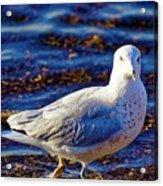 Seagull 1 Acrylic Print
