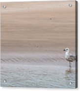 Seagull At The Waters Edge Acrylic Print