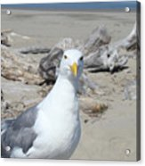 Seagull Bird Art Prints Coastal Beach Driftwood Acrylic Print