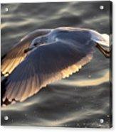 Seagull Flight Acrylic Print by Dustin K Ryan