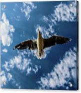 Seagull Flying  Acrylic Print
