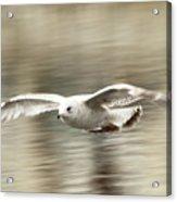 Seagull Glide Acrylic Print