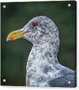 Seagull Head Shot Acrylic Print
