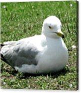 Seagull Acrylic Print