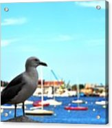 Seagull In Boston Harbor Acrylic Print