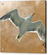 Seagull In Flight 1 Acrylic Print