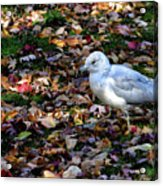 Seagull In The Fallen Leaves Acrylic Print